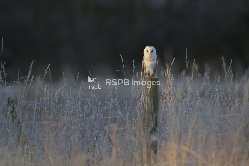Barn owl Tyto alba, adult perched on a fence post on a frosty morning, Suff ...