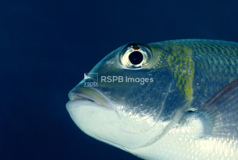 Whitebelly damselfish Amblyglyphidodon leucogaster, view from below, Red Se ...