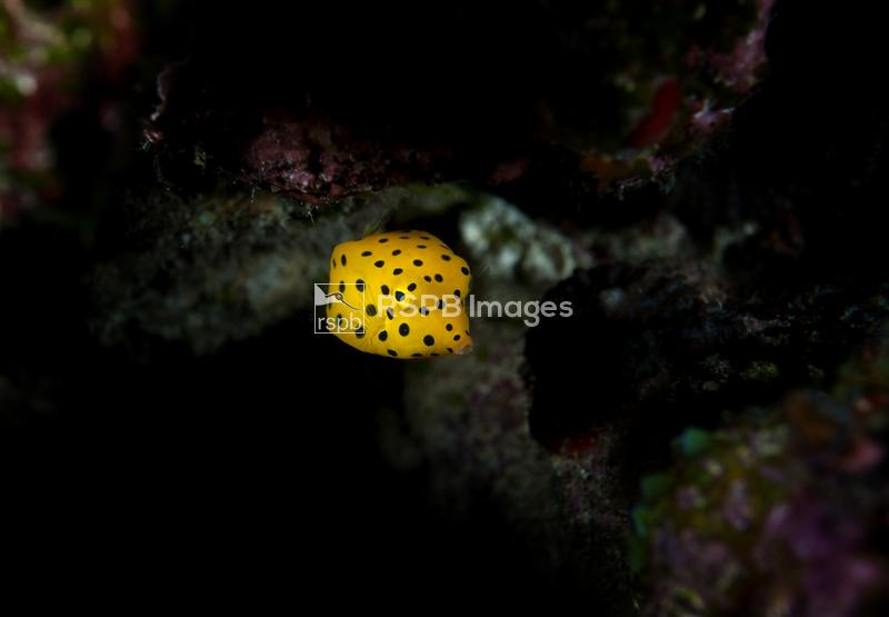Yellow boxfish Ostracion cubicus, juvenile swimming on a reef, Maldives, In ...