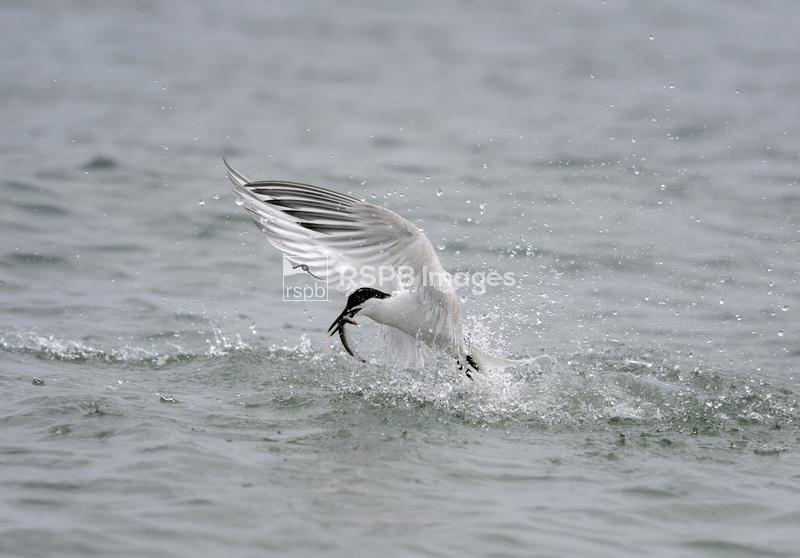 Sandwich tern Sterna sandvicensis, adult fishing for sandeels, Anglesey, Wa ...