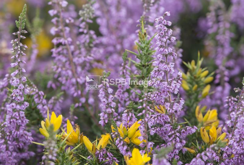 Ling heather Calluna vulgaris and Common gorse Ulex minor, plants flowering ...