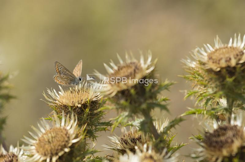 Brown Argus Aricia agestis, adult butterfly feeding on a Carline thistle Ca ...