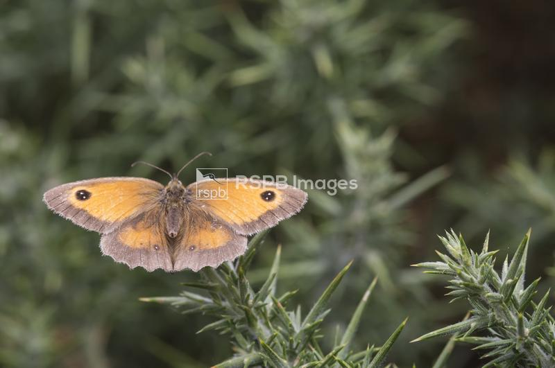 Gatekeeper Pyronia tithonus, adult butterfly resting on tip of a gorse stem ...