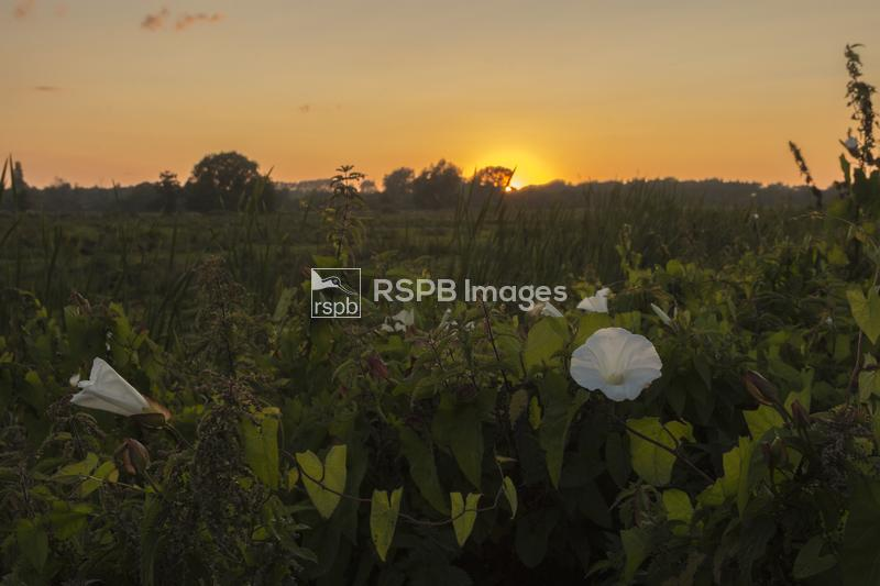 Sunset across a water meadow lighting the Hedge bindweed flowers and the ne ...