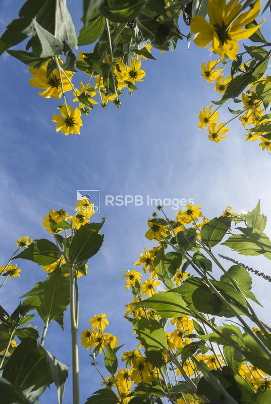 Looking up through a bunch of tall sunflowers to their yellow flower heads  ...