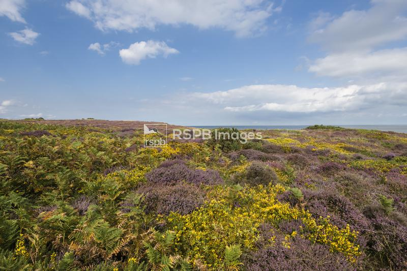 Ling heather Calluna vulgaris and Common gorse Ulex minor, view of plants f ...