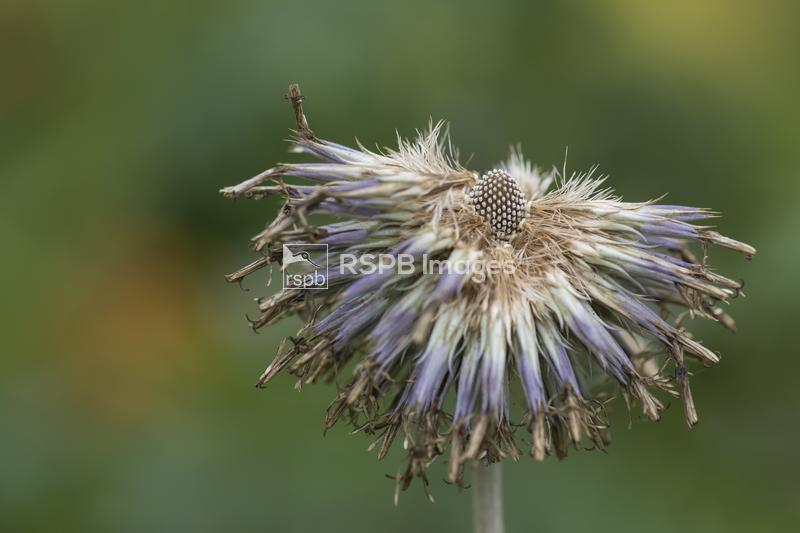 Globe thistle Echinops, a flowerhead gone to seed, August, Durham ...