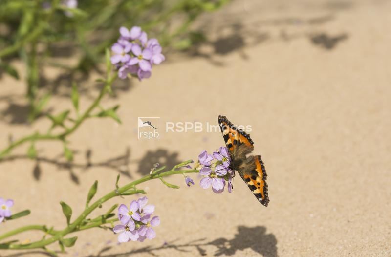 Small tortoiseshell Aglais urticae, adult feeding on  Northern Rock-cress A ...