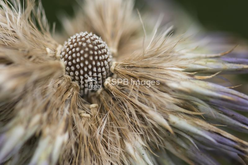 Globe thistle Echinops, a flowerhead gone to seed, Durham, August ...