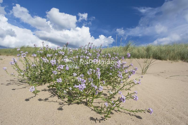 Northern Rock-cress Arabis petraea, growing on the sandy shoreline of the T ...
