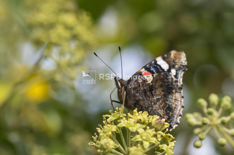 Red admiral Vanessa atalanta,side on with closed wings feeding on Ivy flowe ...