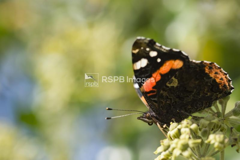 Red admiral Vanessa atalanta, adult side on with closed wings feeding on Iv ...