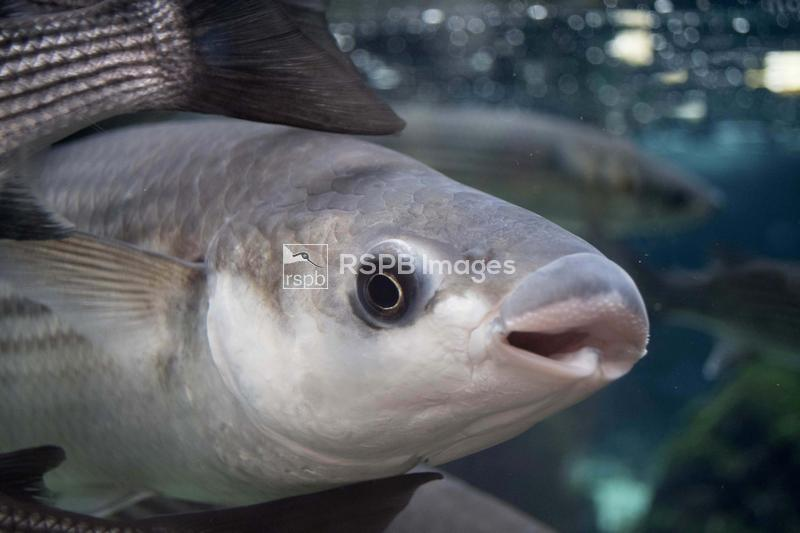 Thick-lipped mullet Chelon labrosus, adult swimming in a shoal, captive, Br ...