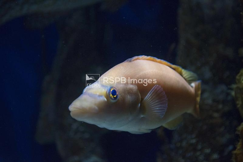 Cuckoo wrasse Labrus mixus, adult swimming out of the dark, Bristol Aquariu ...