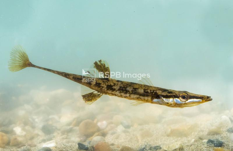 Fifteen-spined stickleback Spinachia spinachia, fish swimming underwater, W ...