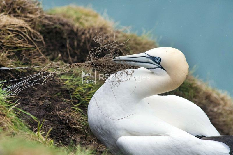 Northern gannet Morus bassanus, adult female collecting fishing line, RSPB  ...