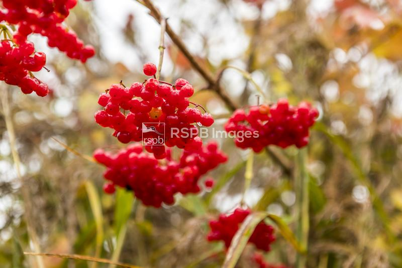 Guelder rose Viburnum opulus, plant with berries, RSPB Newport Wetlands, Gw ...