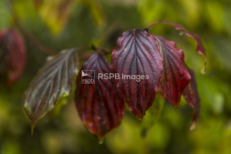 Common dogwood Cornus sanguinea, leaves showing autumn colours, RSPB Reserv ...