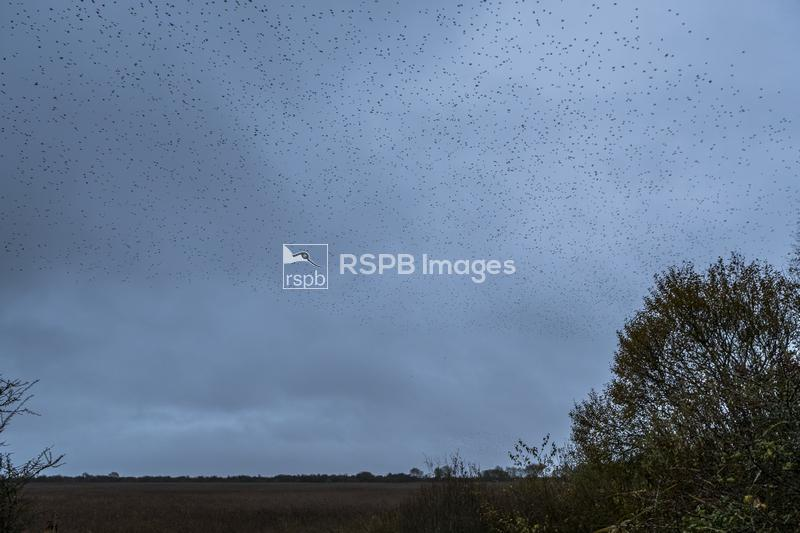 Common starling Sturnus vulgaris, adults flying,  mumuration, RSPB Reserve  ...