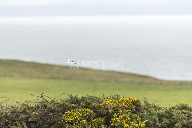 Stonechat Saxicola rubicola,, adult male perched on gorse, Nash Point, Wale ...