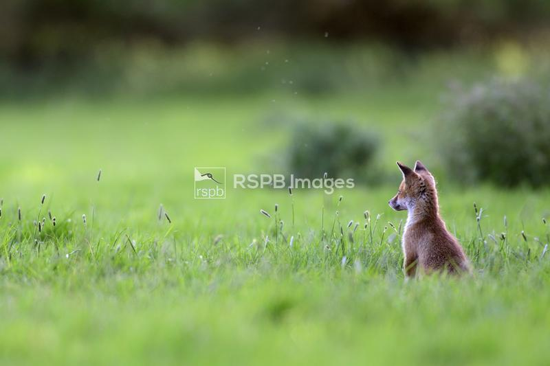 Red fox Vulpes vulpes, cub watching people walk along the canal towpath, Ox ...