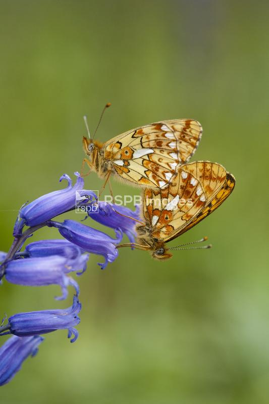 Small pearl-bordered fritillary Boloria selene, mating pair on British blue ...