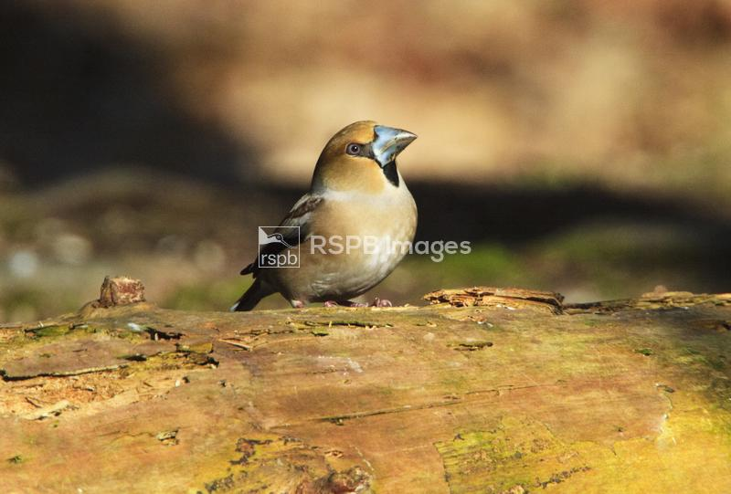 Hawfinch Coccothraustes coccothraustes, adult male in breeding plumage on f ...