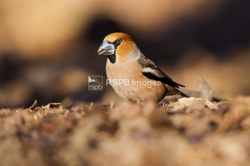 Hawfinch Coccothraustes coccothraustes, adult male in breeding plumage fora ...