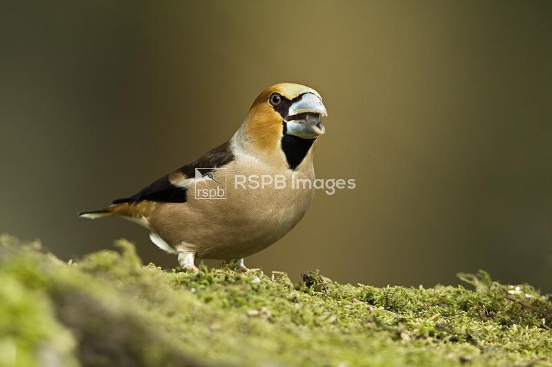 Hawfinch Coccothraustes coccothraustes, adult male in breeding plumage eati ...
