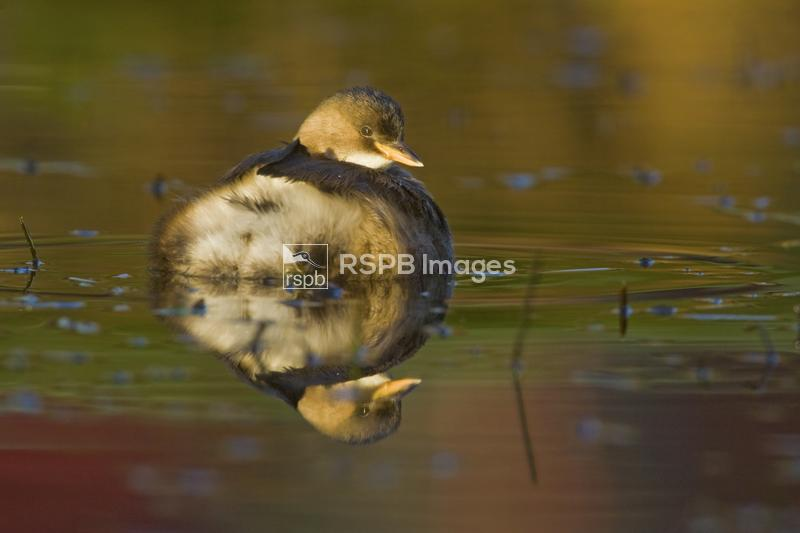 Little grebe Tachybaptus ruficollis, adult female reflected in pond, Derbys ...