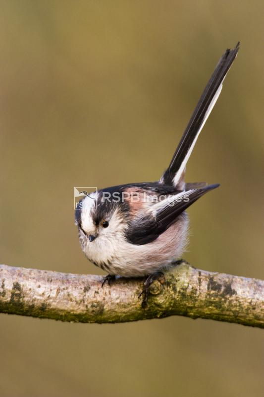 Long-tailed tit Aegithalos caudatus, adult on branch, Forest of Dean, Glouc ...