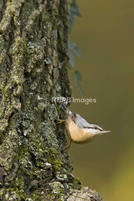 Eurasian nuthatch Sitta europaea, adult descending oak tree, Forest of Dean ...