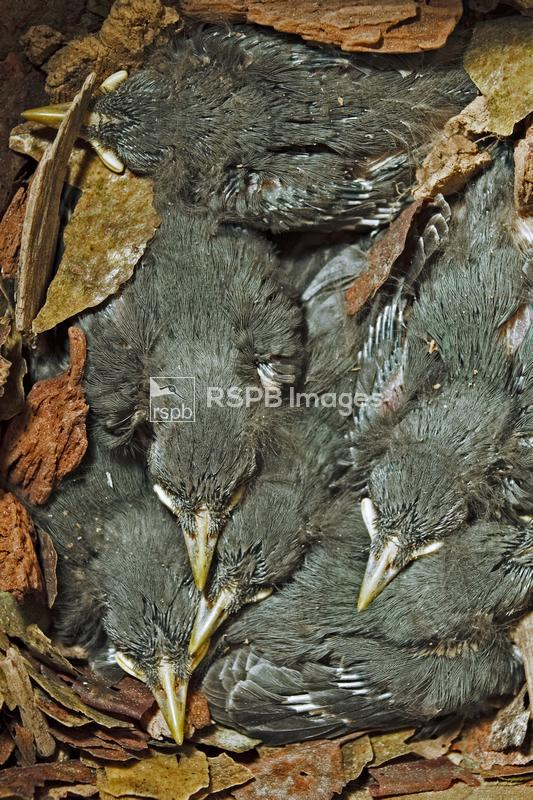 Eurasian Nuthatch Sitta europaea, 10 day-old chicks in a nestbox, Forest of ...