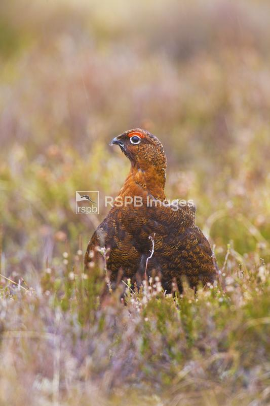 Red grouse Lagopus lagopus, adult in heather moorland, Invernesshire, May ...