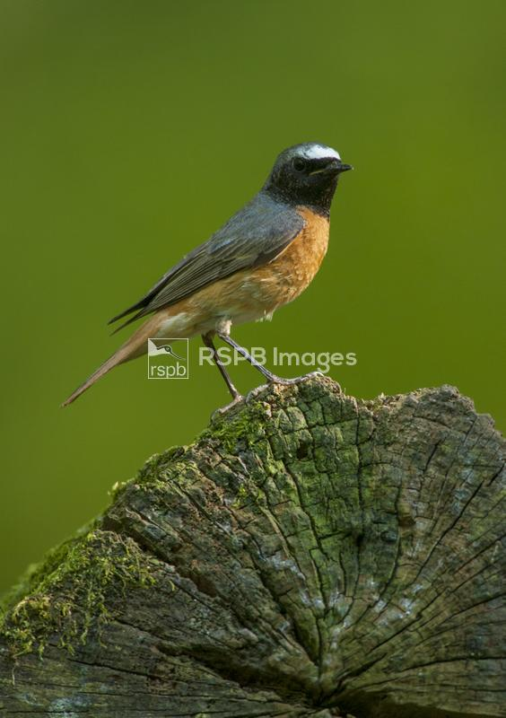 Redstart Phoenicurus phoenicurus, adult male on woodland log, Forest of Dea ...