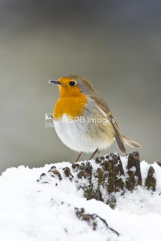 European robin Erithacus rubecula, adult in snow, Forest of Dean, Glouceste ...