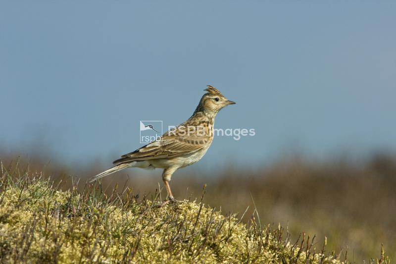 Skylark Alauda arvensis, adult female on heather moorland, Blaenavon, South ...