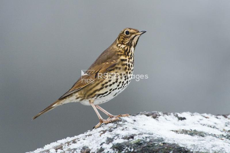 Song thrush Turdus philomelos, adult on a log in the snow, Forest of Dean,  ...