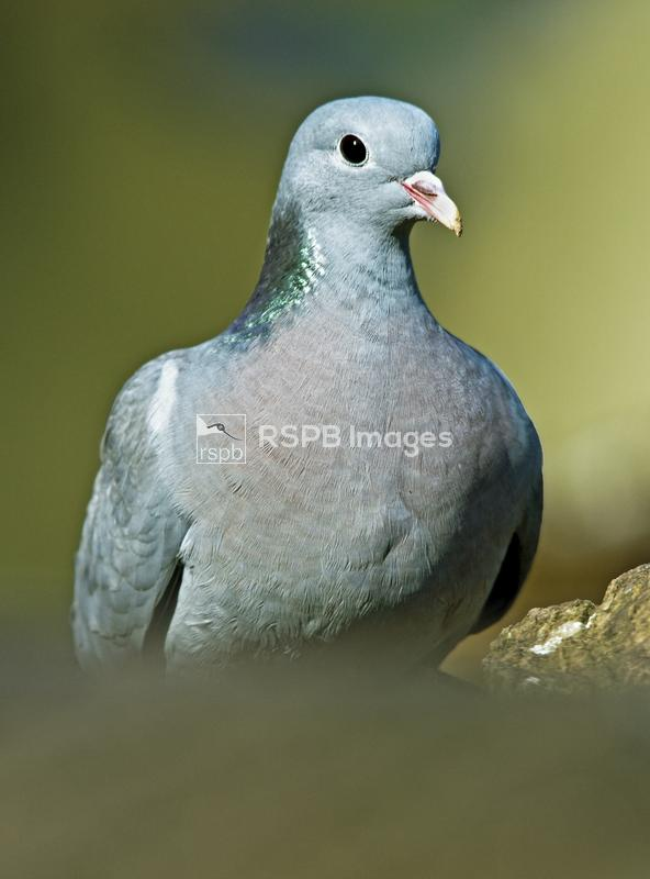 Stock Dove Columba oenas, adult portrait, Forest of Dean, Gloucestershire,  ...