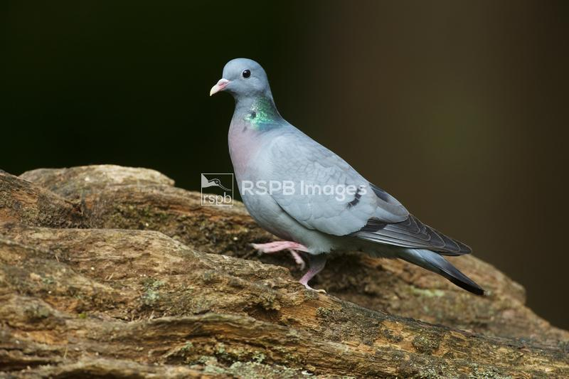 Stock Dove Columba oenas, adult on tree stump, Forest of Dean, Gloucestersh ...