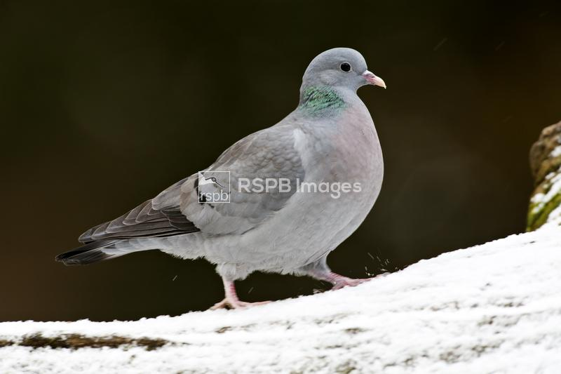 Stock Dove Columba oenas, adult walking in the snow, Forest of Dean, Glouce ...