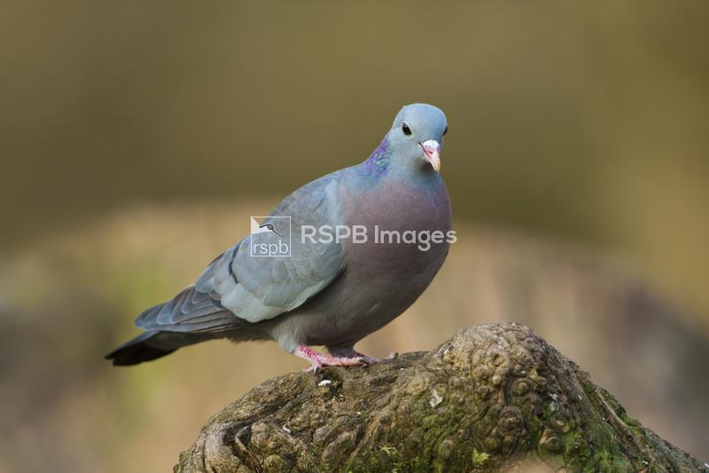 Stock dove Columba oenas, adult on log in Autumn colours, Forest of Dean, G ...