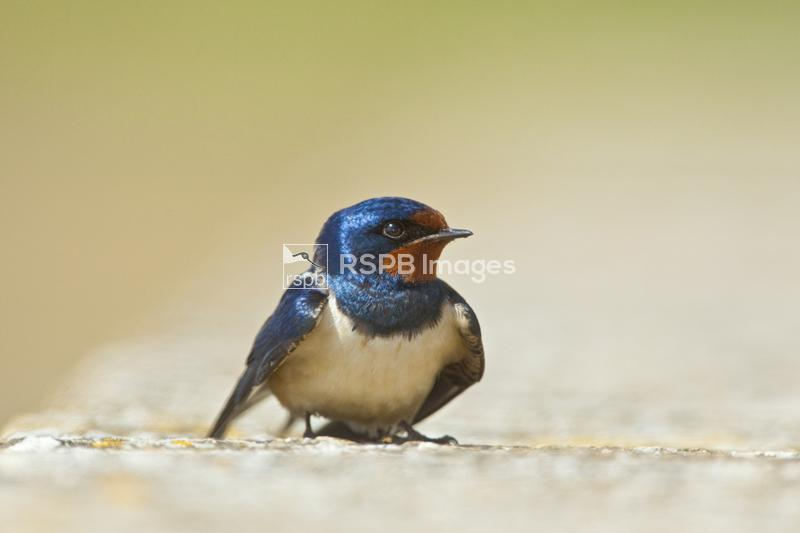 Barn swallow Hirundo rustica, adult male in breeding plumage, Coto Donana,  ...
