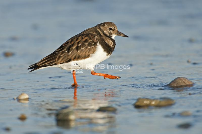 Turnstone Arenaria interpres, adult walking, Isle of Man, December ...