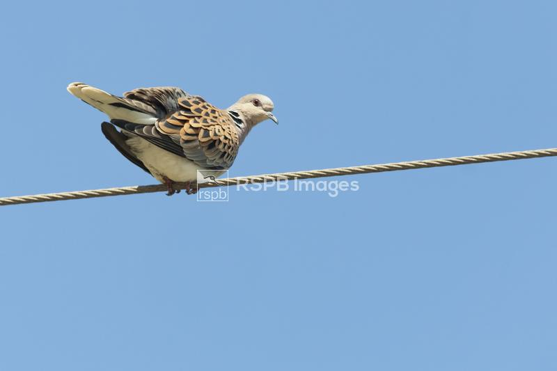 Turtle dove Streptopelia turtur, adult balancing on wire, Andalucia, Spain, ...