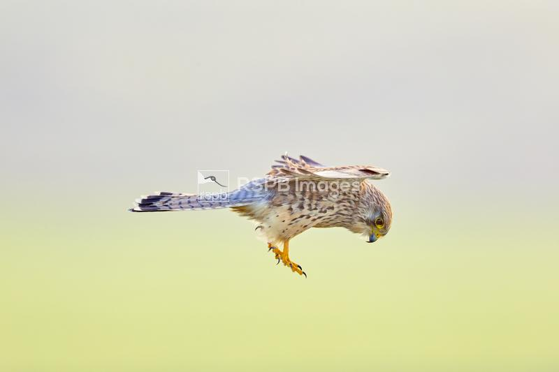Kestrel Falco tinnunculus, adult hovering looking for prey, Cornwall, Octob ...