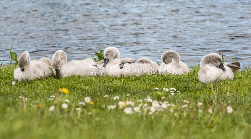 Mute swan Cygnus olor, family of six cygnets sitting and preening on the ed ...