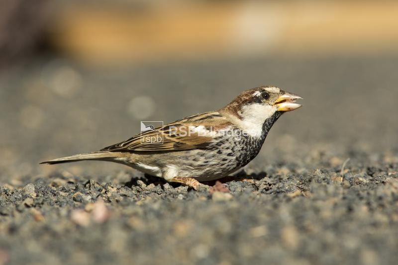 Spanish sparrow Passer hispaniolensis, adult male in eclipse plumage on vol ...