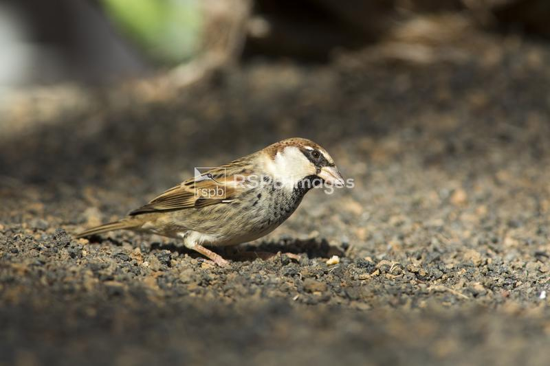 Spanish sparrow Passer hispaniolensis, adult male in breeding plumage on vo ...