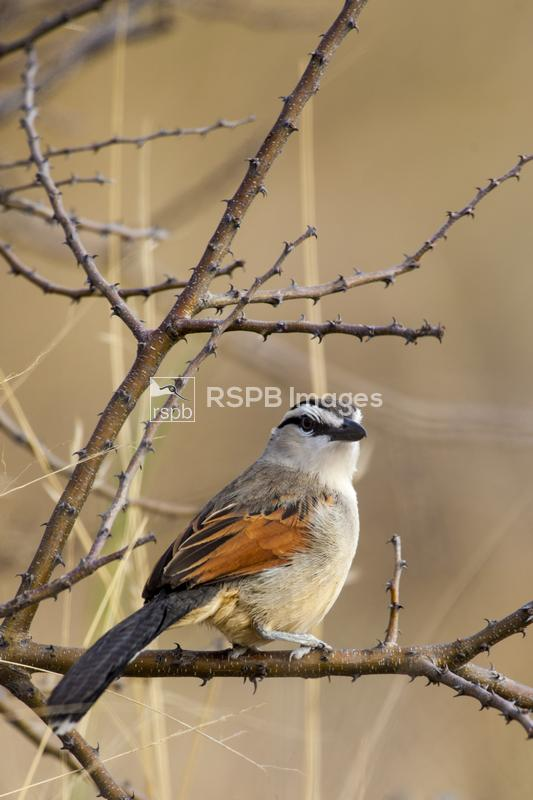 Three-streaked Tchagra Tchagra australis, male in twiggy shrub, Etosha, Nam ...